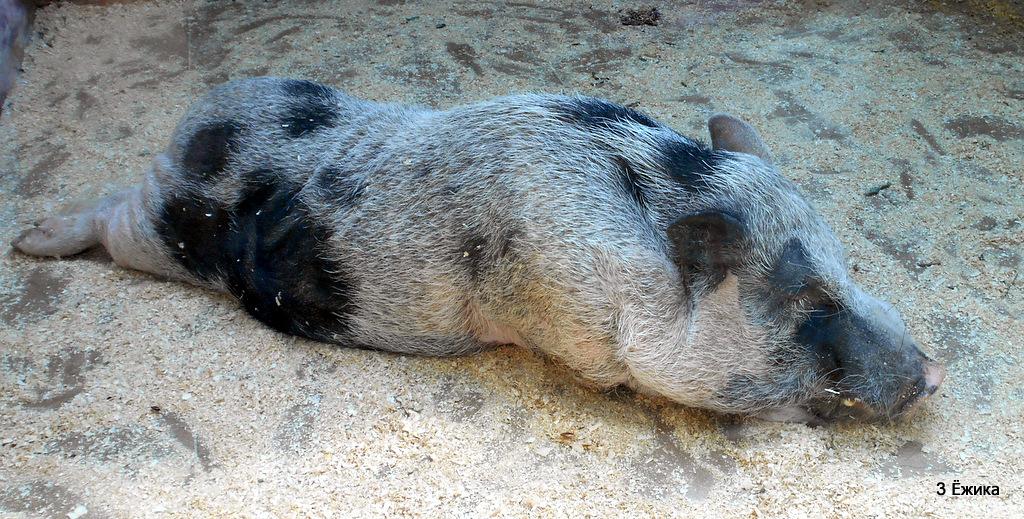 Мини-пиг (карликовая домашняя свинья)