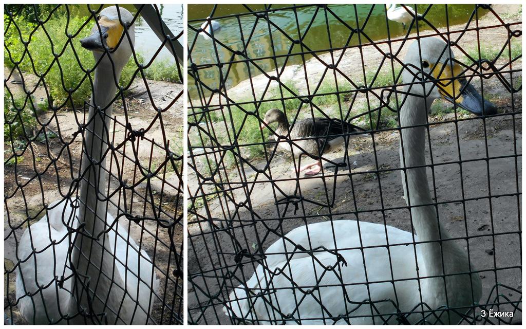 гуси - лебеди 2