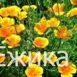 Эшшольция