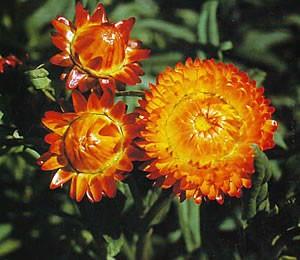 «Демисезонные» цветы